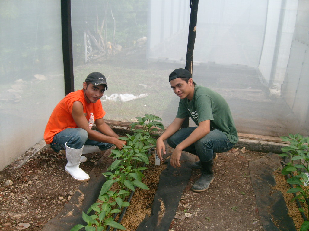 Two young men kneeling by a row of vegetable plants inside a greenhouse.