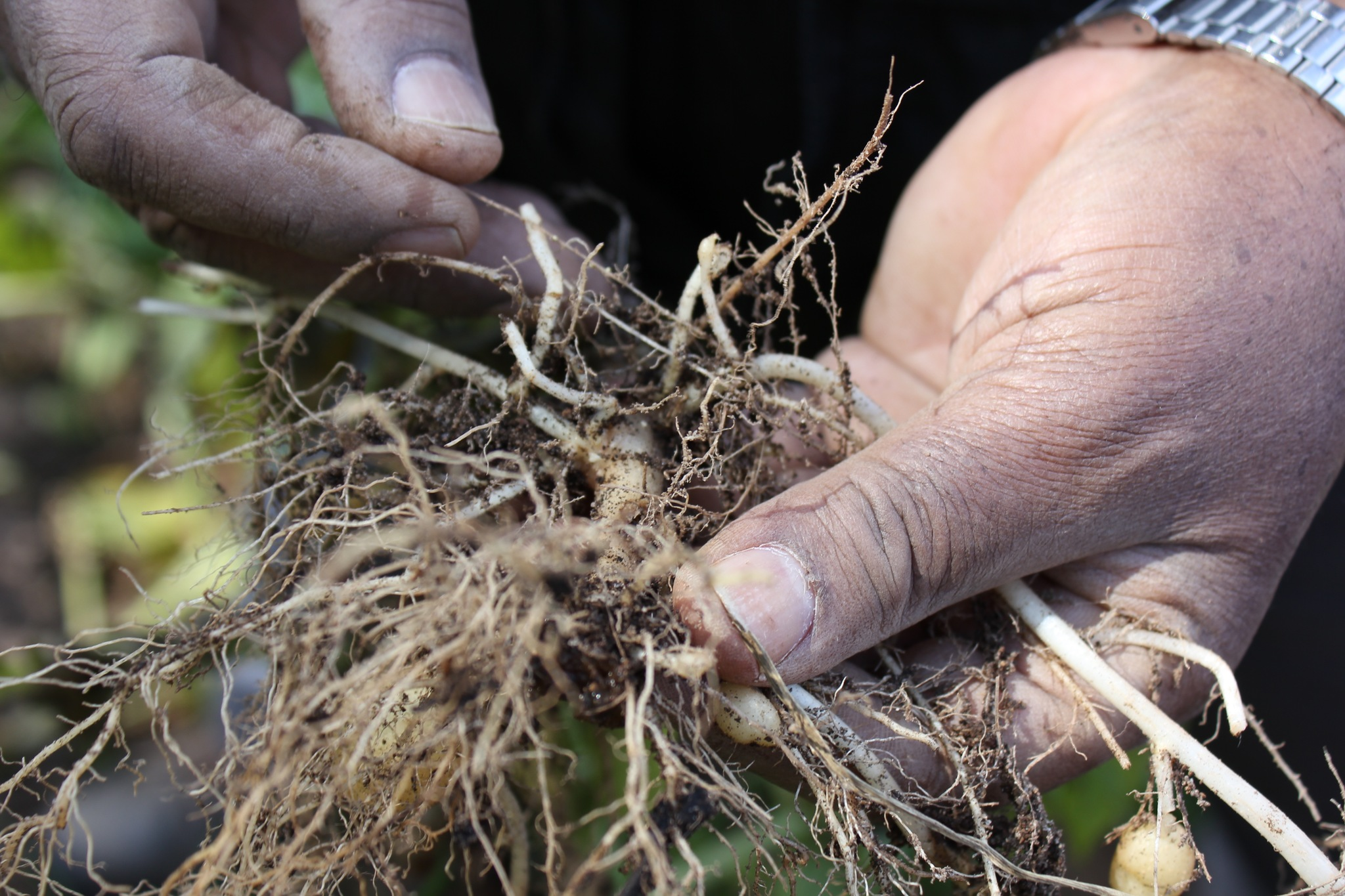 Close-up on hands holding potato roots with cyst nematode visible, from a field in Guatemala