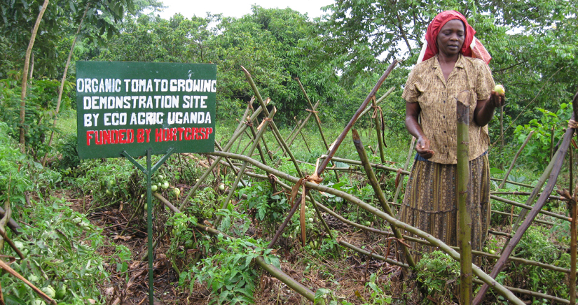 "Ugandan farmer holds a tomato in a tomato patch, next to her a sign that reads ""organic tomato growing demonstration site by eco agric uganda funded by HORTCRSP"""