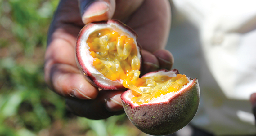 close-up on passion fruit, cracked open in hand