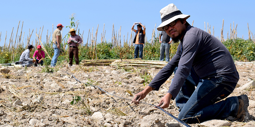 Guatemalan ag technician kneeling, holds drip tape on farmland with tomatoes growing in the background
