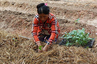 Farmer demonstrates planting in straw mulch