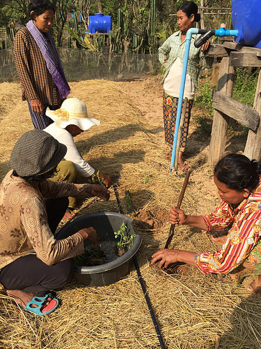 Women plant seedlings in straw mulch, either side of a drip irrigation line
