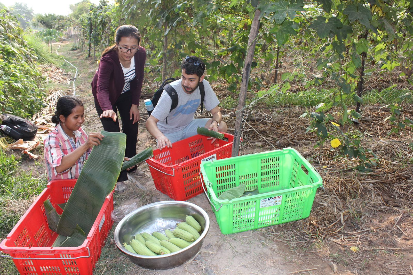 From left, farmer Eang Chakriya and technician Sel Rechaney show UC Davis researcher Angelos Deltsidis how they harvest sponge gourd and wrap the vegetable in banana leaves to pack and transport.