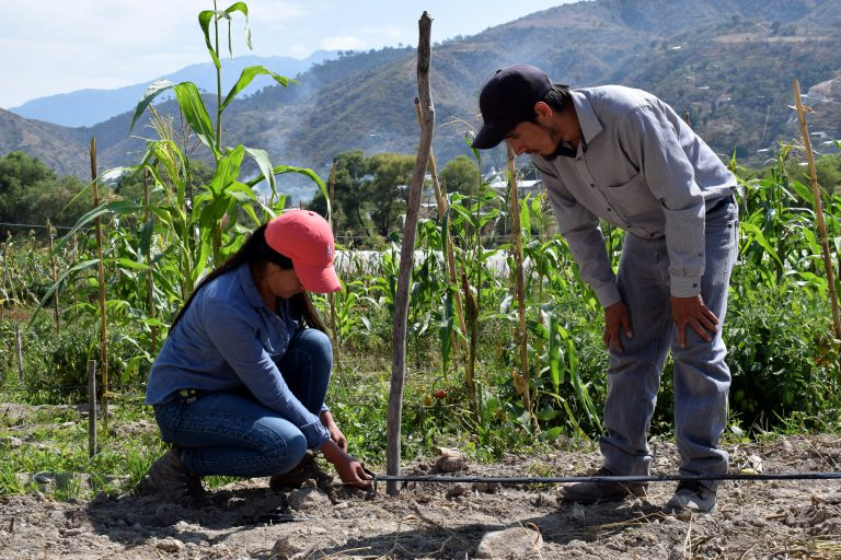 youth technicians install drip irrigation in front of a corn field