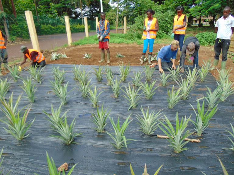 group working on planting pineapple tops through plastic groundcover