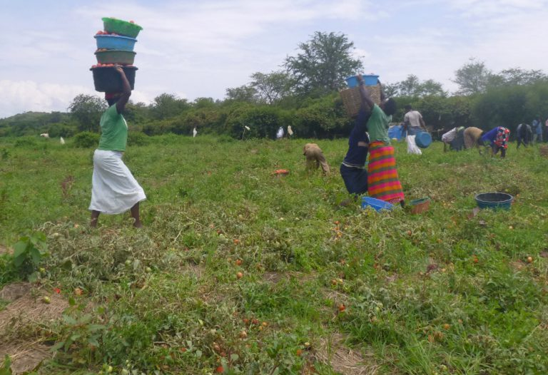 Laborers walk through a field thick with tomato plants, with multiple bins of tomatoes stacked on their heads.