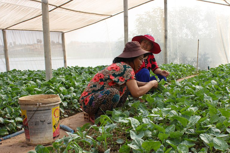 Women kneeling, picking leafy green vegetables inside net house structure