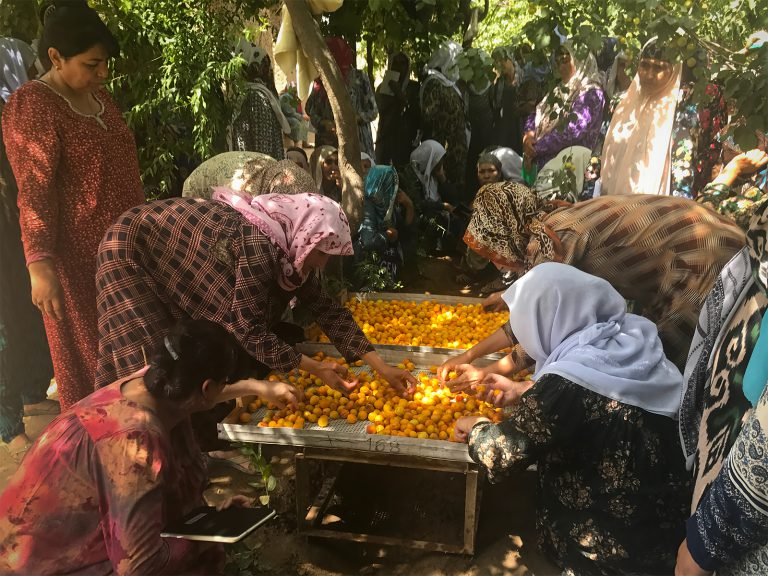 Tajik women sort apricots after harvest on wooden trays for drying