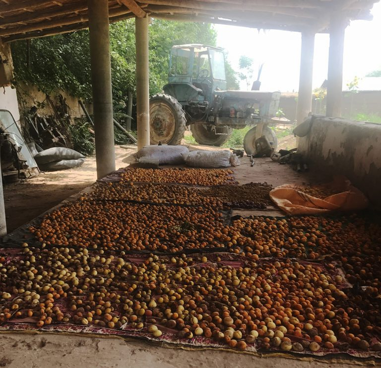 apricots drying on tarp on ground in shed, with tractor behind