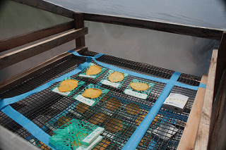 Individual slices of fruit on plastic and wire trays inside a clear plastic solar dryer chamber