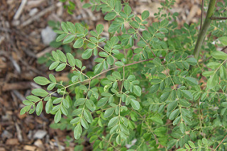 Moringa leaves branch close-up