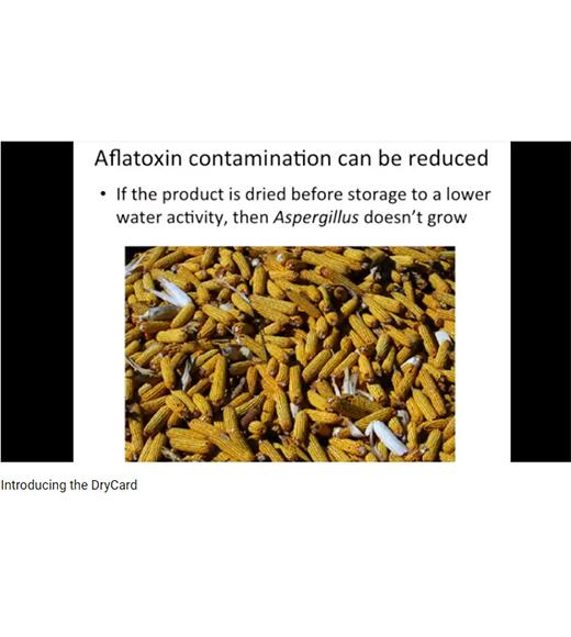 Aflatoxin contamination can be reduced - image of dried corn in storage - from DryCard video