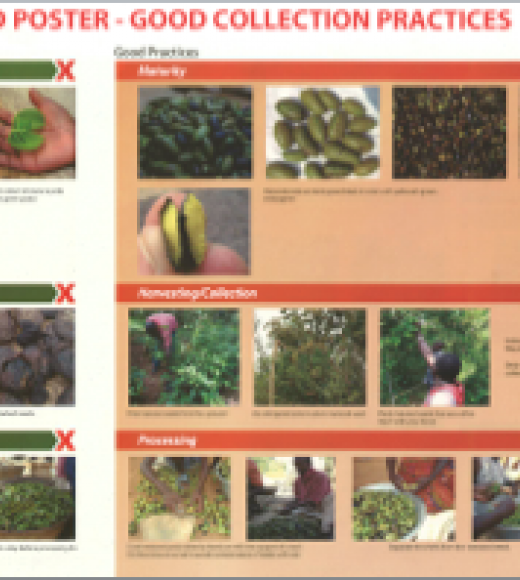 Images related to Griffonia maturity, harvest and collection practices