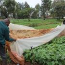 Agricultural researchers pull back nets from row of vegetable plants in Kenya.
