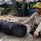 Woman pets pig in the shade