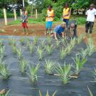 group plant pineapple demonstration plot in Guinea