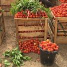Large wooden crates piled high with tomatoes, with some leafy branches on top, next to a buck of tomatoes and more tomatoes on the ground