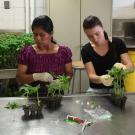 Four graduate students sit at a lab bench with gloves on, handling tomato plants