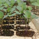 Vegetable seedlings grown by farmers in Zambia.