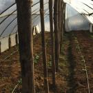 Wooden poles hold up plastic sheeting, inside of a greenhouse