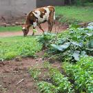 Cow grazing behind vegetable patch