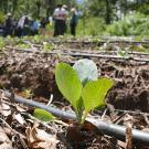 Close-up of vegetable seedling planted in mulch next to irrigation tube, in agriculture field, with group of people in background