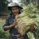 Farmer carrying bundles of freshly harvested vegetables from his field in Cambodia