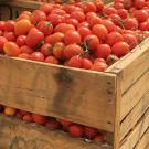 Wooden crates brimming with tomatoes