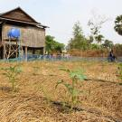 Tomato plants growing with drip irrigation and conservation agriculture practices, by farmers in Cambodia.